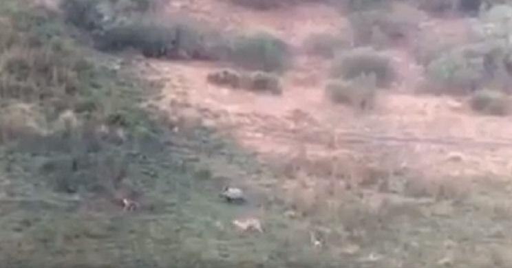 lobos rodean jabali