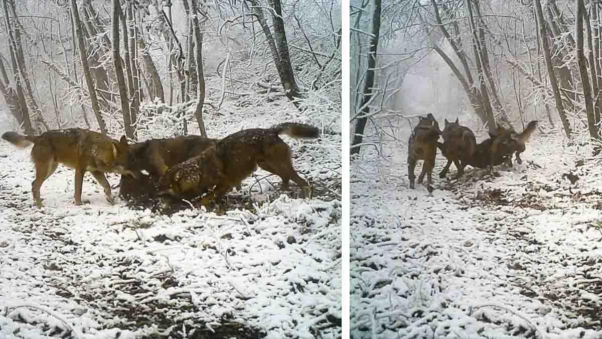 Tres lobos se llevan a un jabalí en volandas y esta cámara trampa lo graba