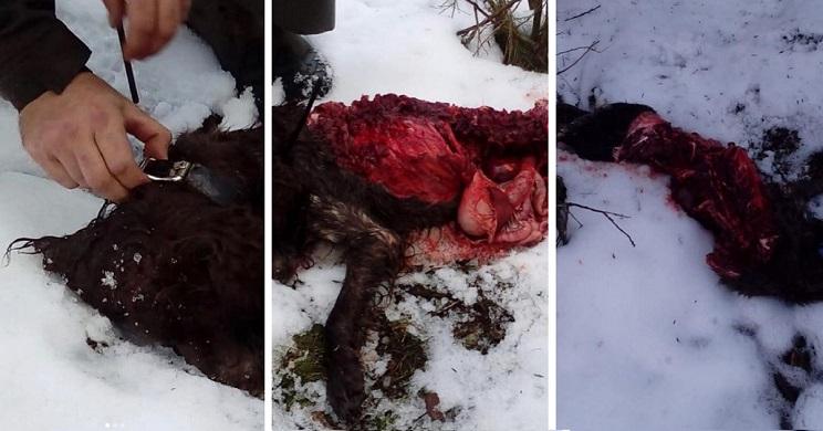 los lobos se comen el perro de un cazador