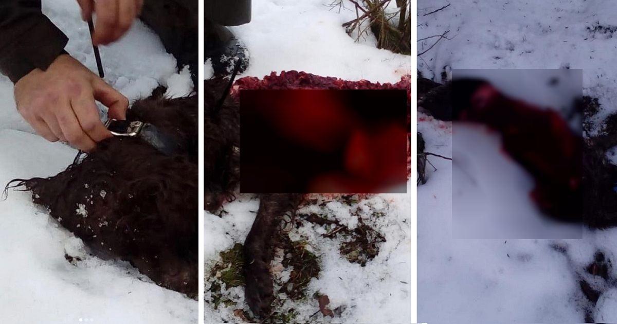 Los lobos matan y devoran al perro de un cazador en León