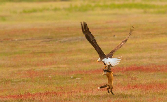 águila zorro