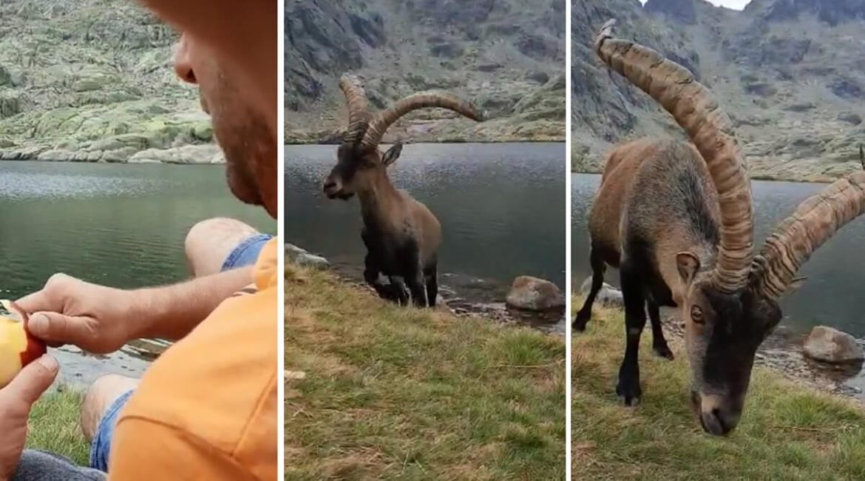 Un macho montés ataca al hombre que le daba de comer