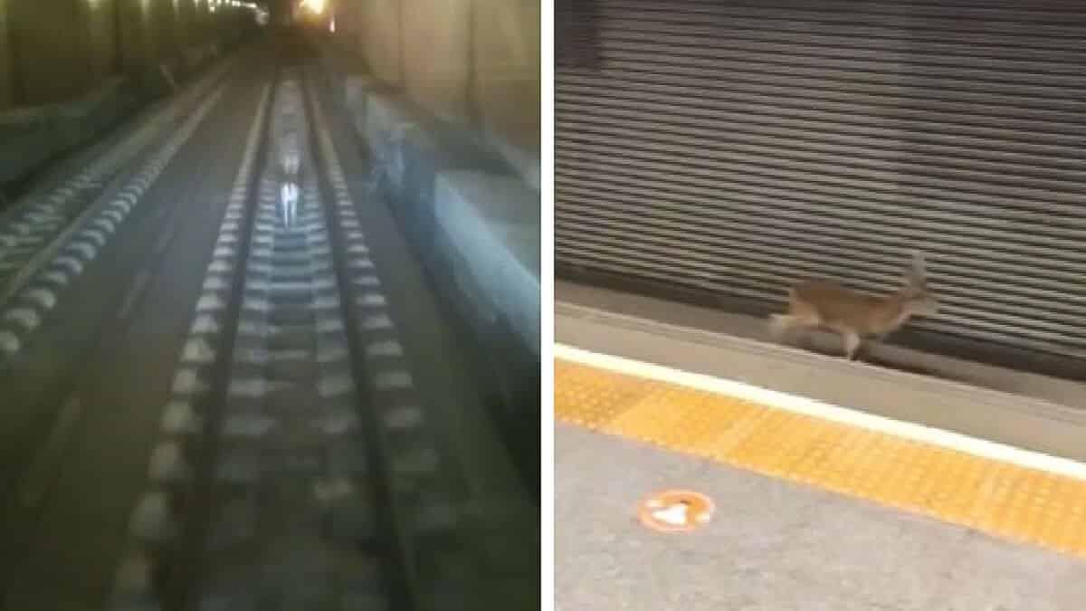 Un macho montés se cuela en el Metro de Valencia y los medios dicen que es un corzo
