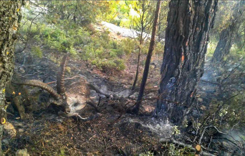 Macho montés alcanzado por un rayo que creó incendio. / Asociación de Agentes para la Protección de la Naturaleza