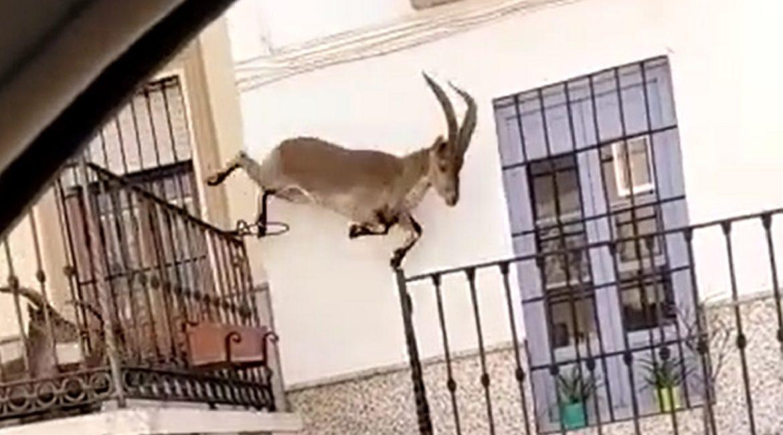 Graban cuatro machos monteses saltando por los balcones de un pueblo
