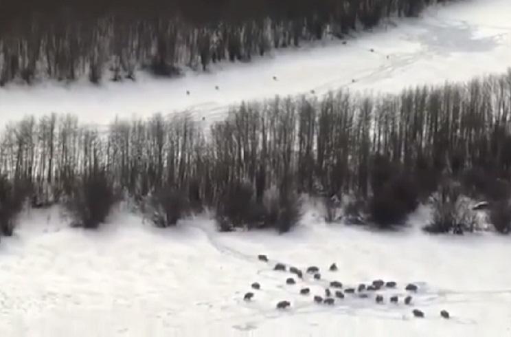 Una manada de lobos rodea a un grupo de bisontes y provoca su estampida