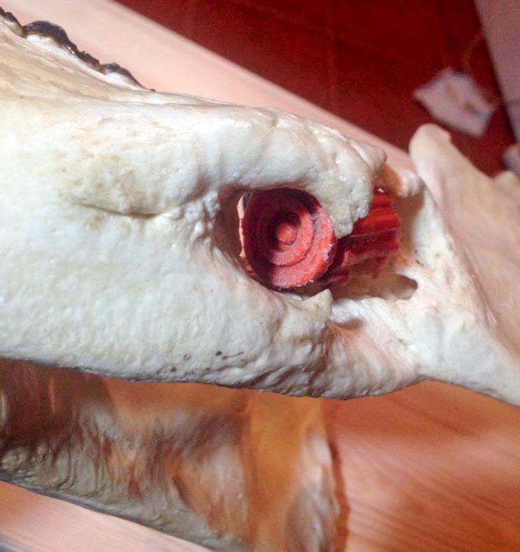 mandíbula de un jabalí