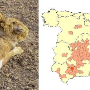 La mixomatosis afecta ya a liebres de 22 provincias