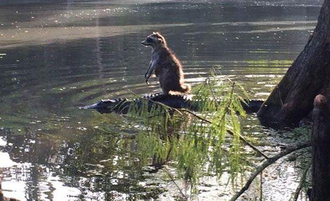 Foto: Richard Jones fotografió a un mapache encima de un cocodrilo. Foto: Twitter.
