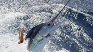 Luchan durante más de 10 horas para intentar pescar un marlín gigante