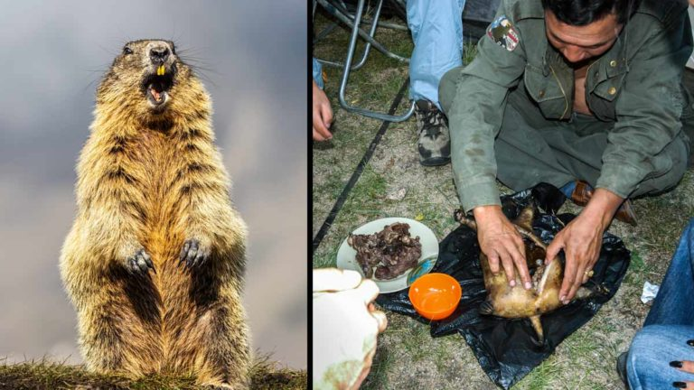 marmota peste mongolia