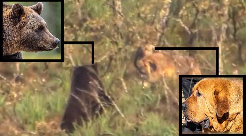 Dos mastines se enzarzan con un oso en León