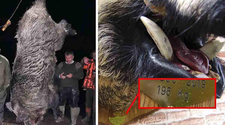 Este mastodóntico jabalí deja a los cazadores con la boca abierta