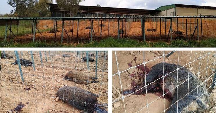 matan y cortan la cabeza a los jabalies de una granja