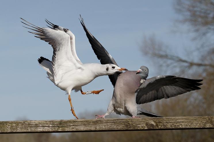 Una paloma de media veda lucha con una gaviota