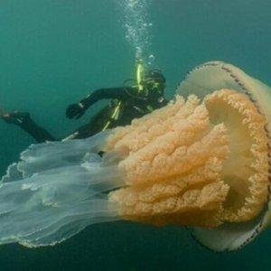 Encuentran una medusa del tamaño de una persona