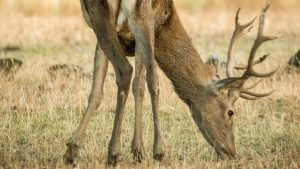 Descubren cuál es el mejor cebo para medicar a los ciervos silvestres