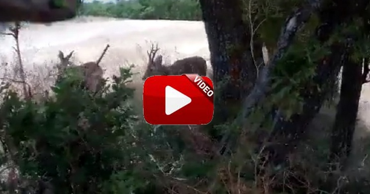 Este es posiblemente uno de los mejores vídeos de caza de corzos que jamás hayas visto