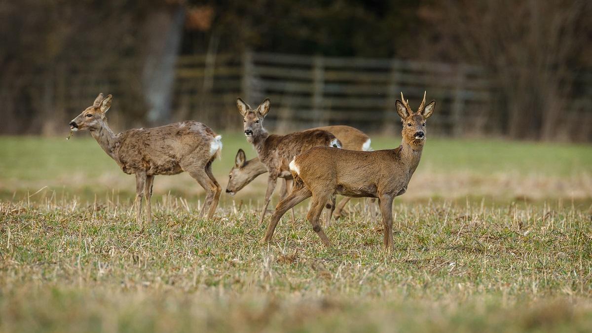 Cinco cosas que puedes hacer para tener más (y mejores) corzos en tu coto de caza