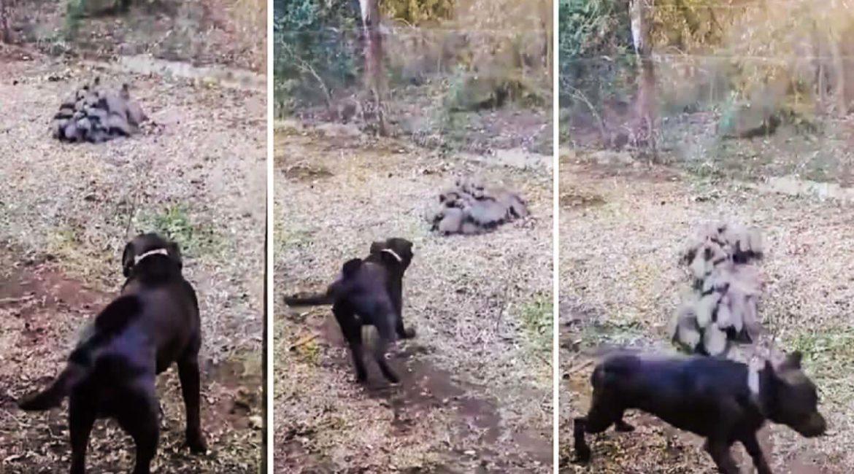 Un grupo de meloncillos ataca a un perro de caza