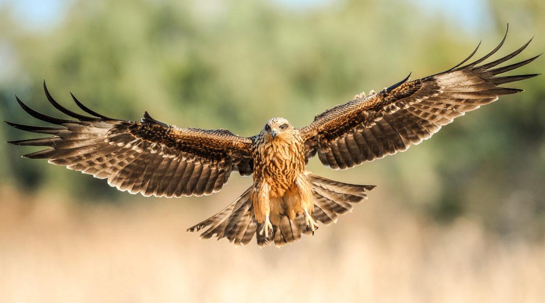 Descubren que las aves rapaces son capaces de provocar incendios a posta para cazar