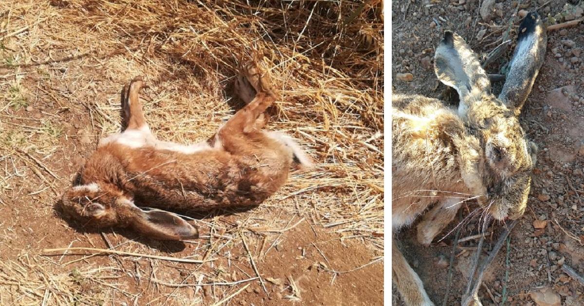 La mixomatosis azota a 14 pueblos de Extremadura: «Aparecen liebres muertas a diario»