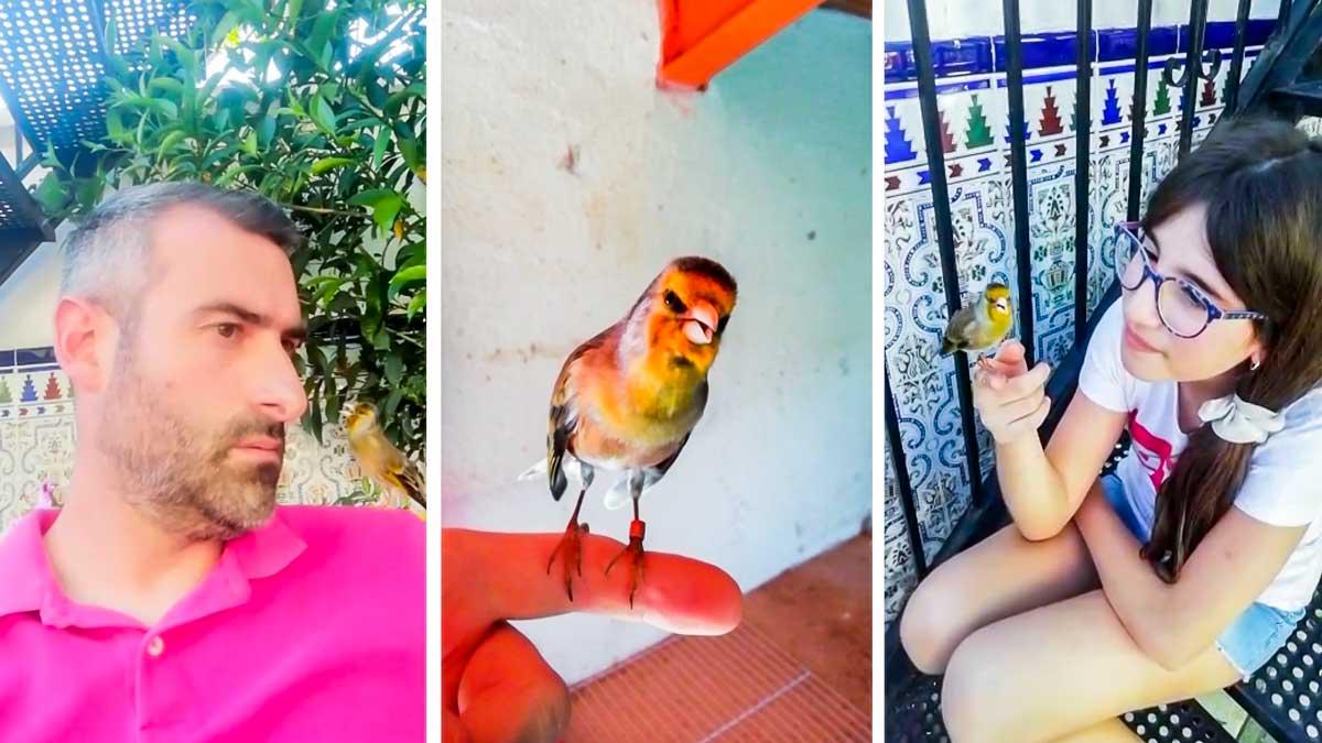 El canto de este mixto de jilguero te va a enamorar: «Ha sido mi mejor pájaro en 20 años»