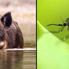 Si vas a cazar, usa repelente de mosquitos: ya hay 16 ingresados en Sevilla por sus picaduras