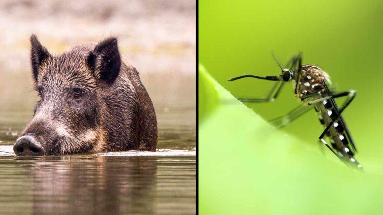 Jabalí y mosquito Aedes Japonicus.
