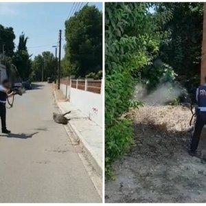 Filtran dos vídeos de un mosso d'esquadra disparando a un jabalí en plena calle