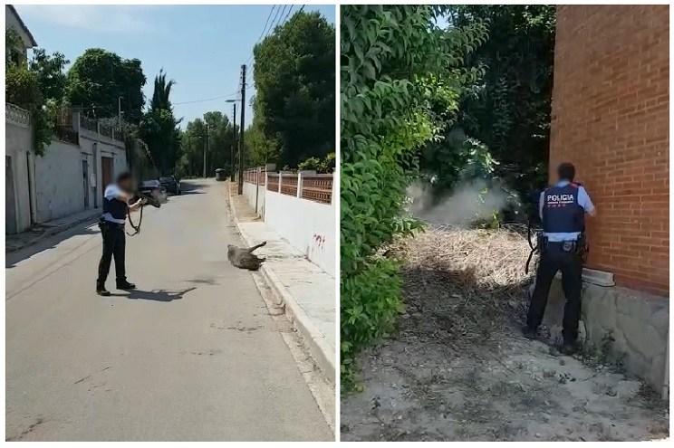 mosso d'esquadra dispara a dos jabalies en plena calle