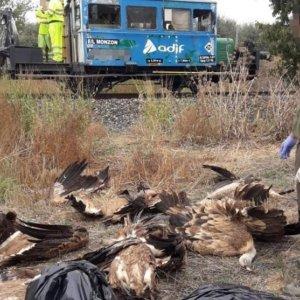 Un tren mata a 15 buitres que estaban comiendo un jabalí en Huesca