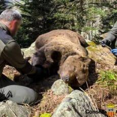 Detenido un Agente de Medio Ambiente por su supuesta implicación en la muerte de un oso en Lérida