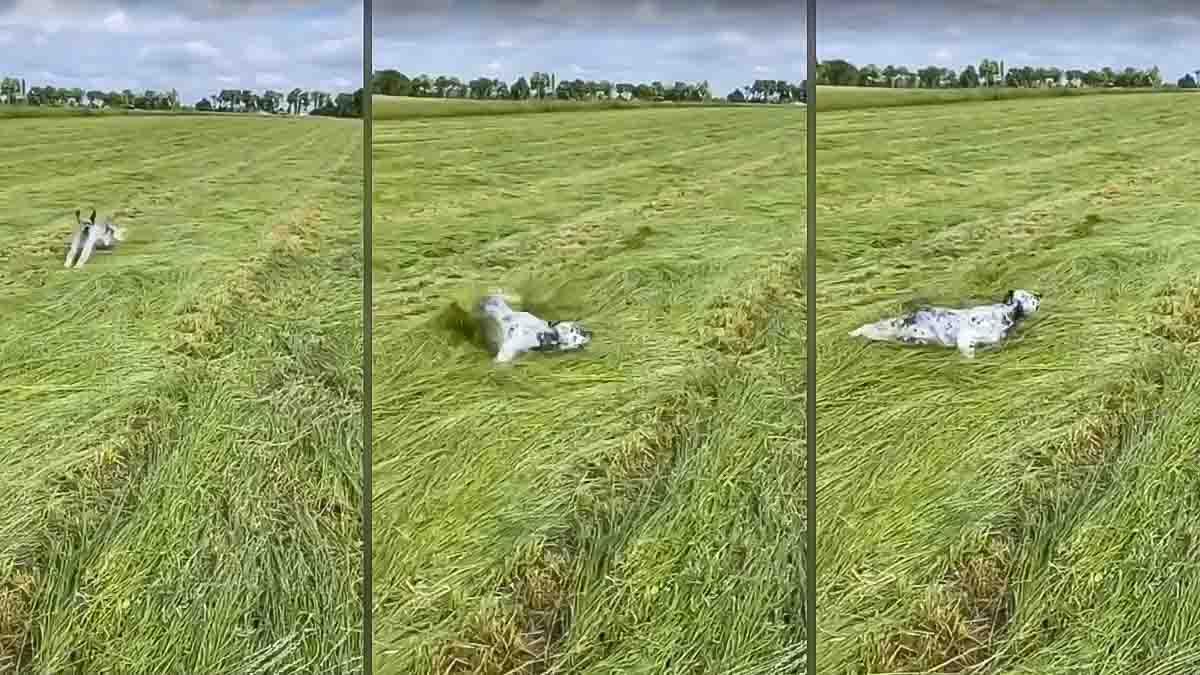Este perro de caza derrapa y se queda petrificado en una muestra de infarto