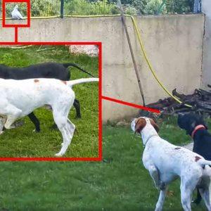 Brutal muestra de dos pointer a una tórtola que se posa en su jardín