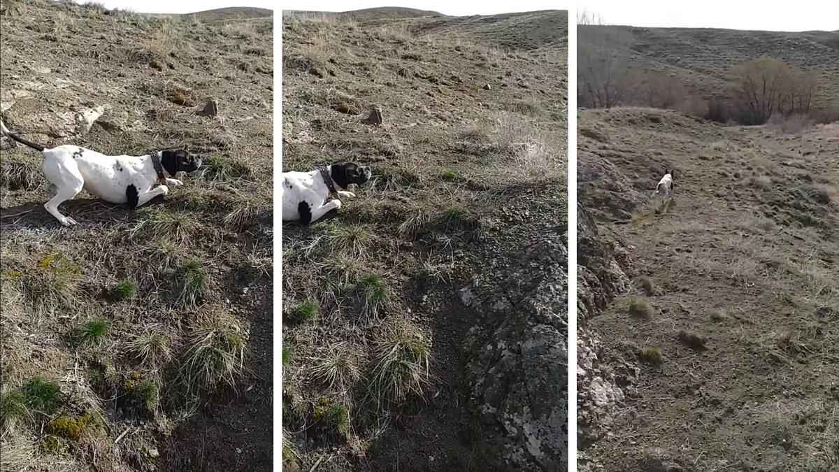 Este perro de caza localiza una liebre encamada y su sangre parece congelarse