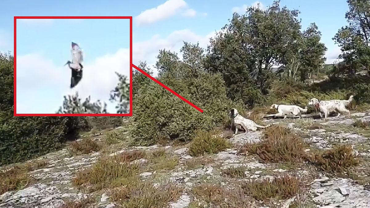 Tres perros de caza muestran una becada que protagoniza una espectacular salida