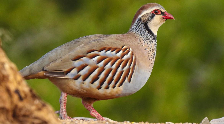 La ciencia desmonta al ecologismo: la munición de plomo no perjudica la conservación de las aves terrestres