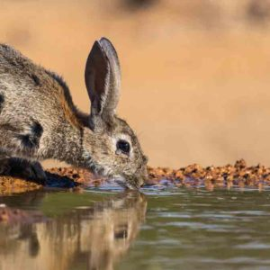Neumonía Hemorrágica Vírica del conejo (NHV), así es la enfermedad que temen los cazadores