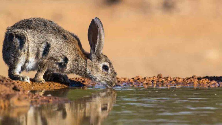 La neumonía hemorrágico vírica es una de las enfermedades más letales para el conejo. @Shutterstock