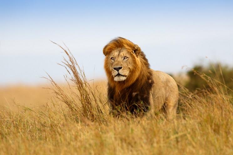 niña muere atacada por un leon
