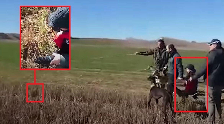 Una liebre aguanta a que este niño la acaricie antes de soltar los galgos
