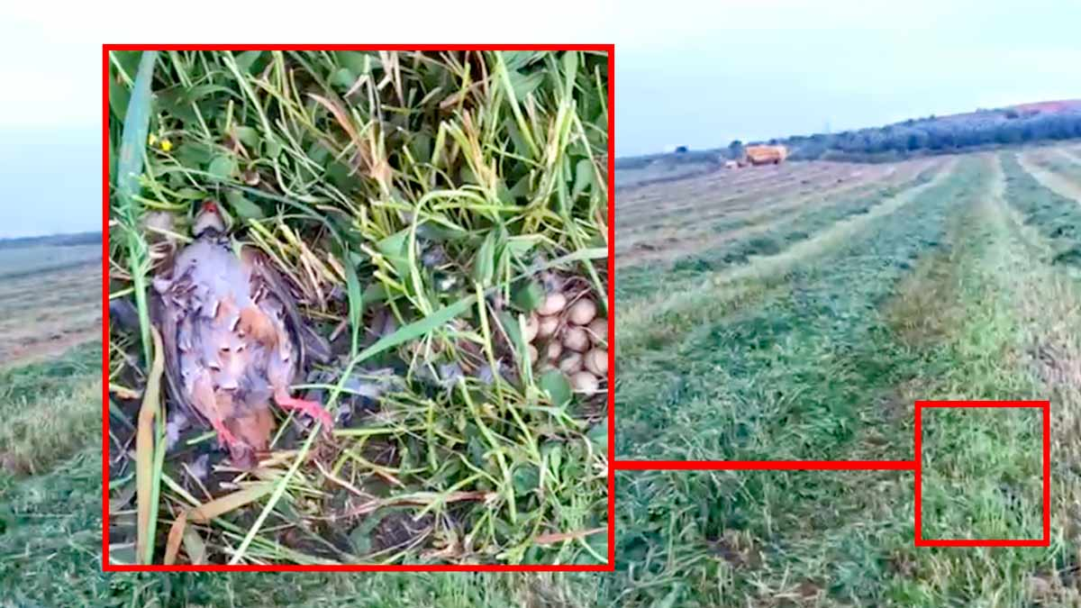 El vídeo de una perdiz y su nido arrollados por una cosechadora entristece a los cazadores