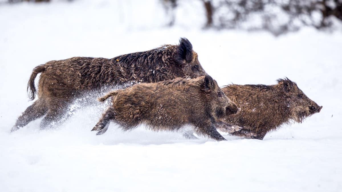 Jabalíes corriendo sobre la nieve en un coto de caza. © Shutterstock