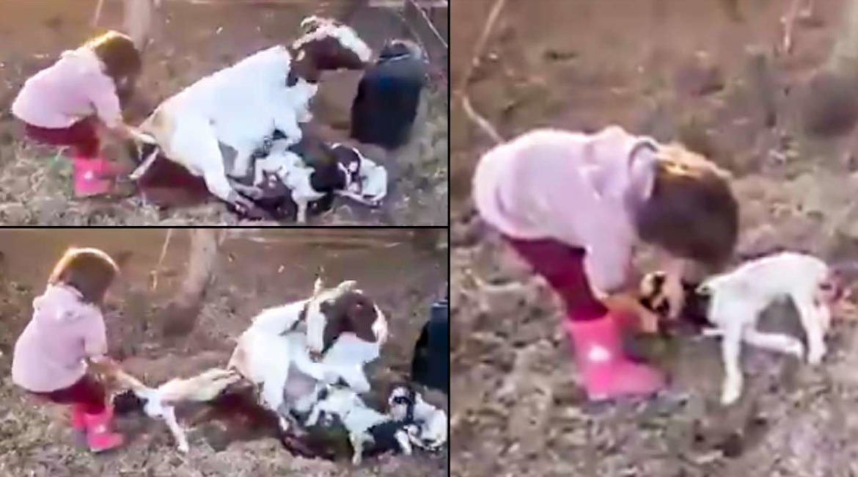 Una niña ayuda a nacer a un cabrito: el vídeo viral que muestra la diferencia entre los niños de campo y de ciudad