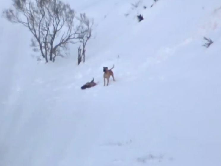 Graban a un perro asilvestrado cazando un jabalí y PACMA criminaliza a los cazadores
