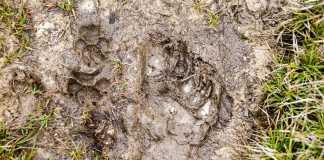 Pisada de perro salvaje comparada con la de humano / Fotografía: New Guinea Highland Wild Dog Foundation