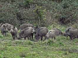 número de jabalíes cazados