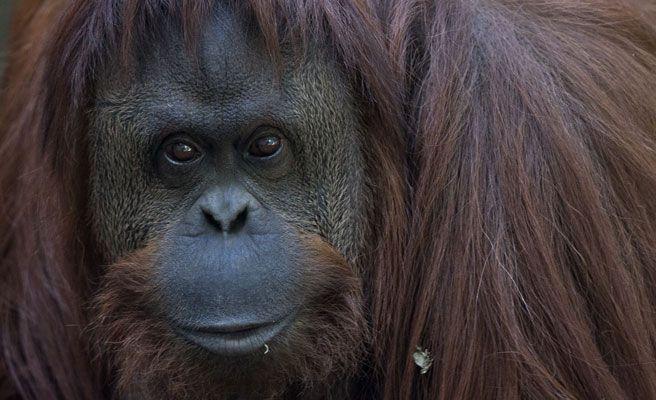 orangutan-672xXx80