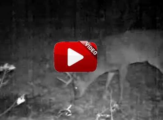 orina-ciervo-rascadero